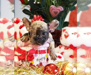 French Bulldog Dog for Adoption in ADRIAN, Michigan USA
