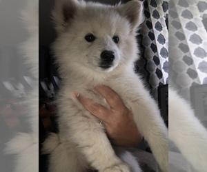 American Eskimo Dog Puppy for Sale in OREGON CITY, Oregon USA