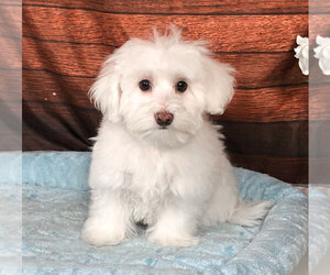 Maltichon Puppy for sale in PENNS CREEK, PA, USA