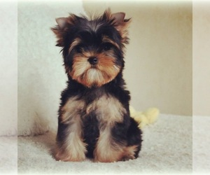 Yorkshire Terrier Puppy for sale in BENNETT SPRINGS, VA, USA