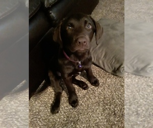 Labrador Retriever Puppy for sale in LORAIN, OH, USA