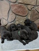 Labrador Retriever Puppy For Sale in WOODLAWN, IL, USA