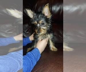 Silky Terrier Puppy for sale in BASEHOR, KS, USA
