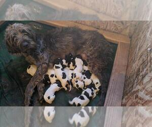 Wirehaired Pointing Griffon Puppy for Sale in CONNELL, Washington USA