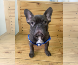 French Bulldog Puppy for Sale in PALM BEACH, Florida USA