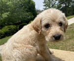 Small Photo #3 Labradoodle Puppy For Sale in CHELSEA, AL, USA