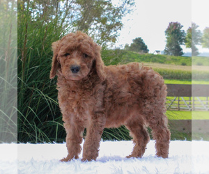 Poodle (Standard) Puppy for sale in GORDONVILLE, PA, USA