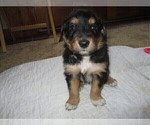 Puppy 5 English Shepherd