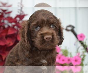 Cocker Spaniel Puppy for sale in NILES, MI, USA
