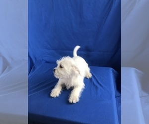 Shih Tzu Mix Puppy for Sale in TUCSON, Arizona USA