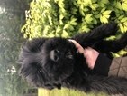 Schnauzer (Giant) Puppy For Sale in LAKE STEVENS, WA, USA