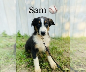Australian Shepherd Puppy for Sale in COOKEVILLE, Tennessee USA