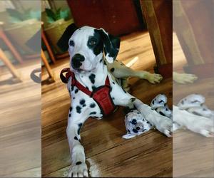Dalmatian Puppy for sale in MADISON, TN, USA