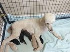 Goldendoodle Puppy For Sale in GODLEY, Texas,