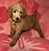 Poodle (Standard) Puppy For Sale in WINSTON SALEM, North Carolina,