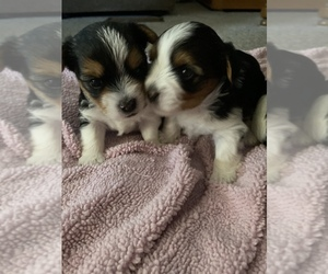 Yorkshire Terrier Puppy for sale in IRONWOOD, MI, USA