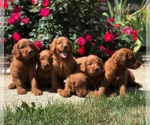 Goldendoodle Dog for Adoption in WOLCOTT, Indiana USA