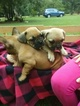 French Bulldog Puppy For Sale in NEW WAVERLY, TX, USA