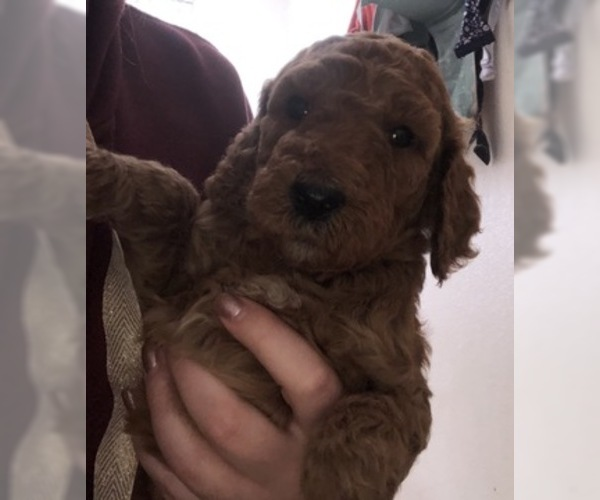 Medium Photo #4 Poodle (Standard) Puppy For Sale in PARKLAND, WA, USA