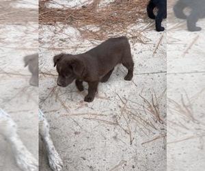 Australian Shepherd Puppy for Sale in CLINTON, North Carolina USA