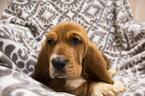 Small #8 Basset Hound