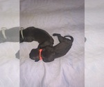 Small #10 Boerboel
