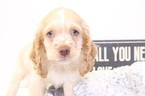 Cocker Spaniel Puppy For Sale in NAPLES, FL,