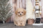Poodle (Toy) Puppy For Sale in BEL AIR, Maryland,