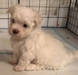 Maltese Puppy For Sale in LUMBERTON, TX, USA