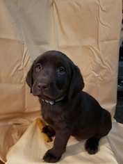 Labrador Retriever Puppy For Sale in AFTON, NY, USA
