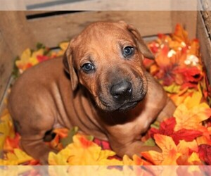 Rhodesian Ridgeback Puppy for sale in INDEPENDENCE, MO, USA