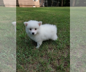 American Eskimo Dog Puppy for sale in ROGERS, AR, USA