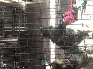 German Shepherd Dog Puppy For Sale in HOWELL, MI, USA