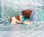 Small #8 Jack Russell Terrier