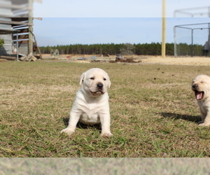 Labrador Retriever Puppy for Sale in ODUM, Georgia USA