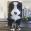 Bernese Mountain Dog Puppy For Sale in ARCADIA, OK, USA