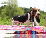 Small Photo #3 Basset Hound Puppy For Sale in UNION CITY, TN, USA