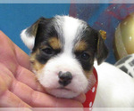 Small #4 Jack Russell Terrier