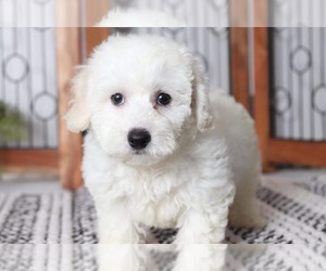 Bichon Frise Dog for Adoption in NAPLES, Florida USA