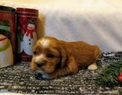 Cocker Spaniel Puppy For Sale in MCVEYTOWN, PA, USA