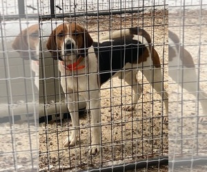 Treeing Walker Coonhound Dogs for adoption in POLSON, MT, USA