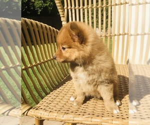 Pomeranian Puppy for sale in BAKERSFIELD, CA, USA