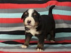 Bernese Mountain Dog Puppy For Sale in RIVERSIDE, IA