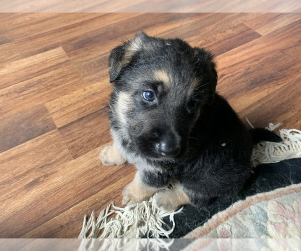 Medium Photo #1 German Shepherd Dog Puppy For Sale in ALBANY, NY, USA