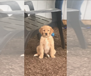 Golden Retriever Puppy for Sale in CRANSTON, Rhode Island USA