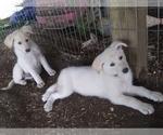 German Shepherd Dog Puppy For Sale in FAYETTE CITY, PA, USA