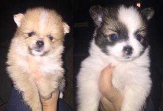 Pomeranian Puppy For Sale in EASLEY, SC