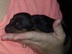 Miniature Pinscher Puppy For Sale in LINTON, IN