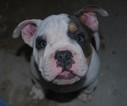 American Bulldog Puppy For Sale in WALWORTH, WI