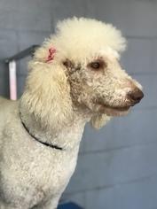 Poodle (Standard) Dogs for adoption in LAKELAND, FL, USA